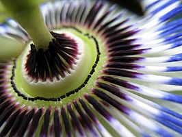Avantages Passion Flower