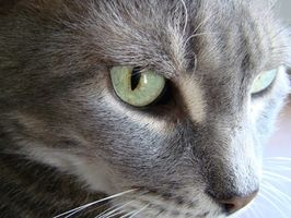 Asthme Cat-induite